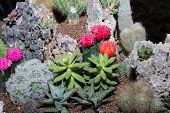 pic of cactus  - Cactus in pot - JPG