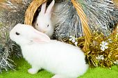 picture of tawdry  - Two white rabbits in basket against gaud on green - JPG