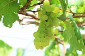 stock photo of vines  - Beautiful Green grapes on vine sunset time - JPG