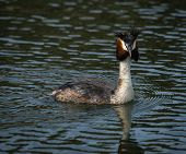 pic of grebe  - Image of Great Crested Grebe on Lake Prespa Greece - JPG