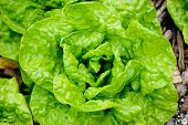 pic of photosynthesis  - Fresh lettuce salad growing in the garden - JPG