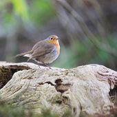 picture of robin bird  - European Robin bird in forest - JPG
