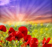 picture of nubian  - red poppy and wild flowers - JPG