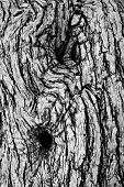picture of white bark  - Macro of a bark of olive trees in black and white creates an abstract effect of texture - JPG