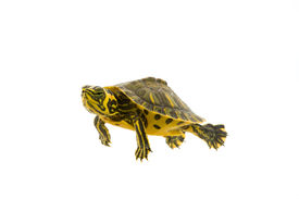 picture of cooter  - Photograph of a baby turtle - JPG