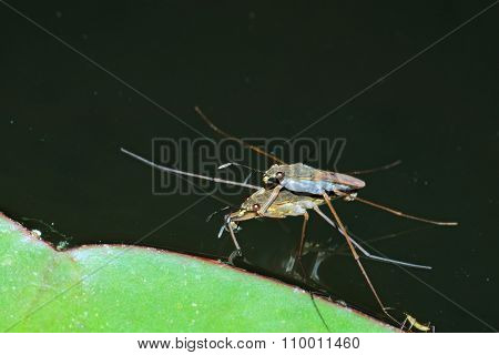 Couple of water strider standing on water