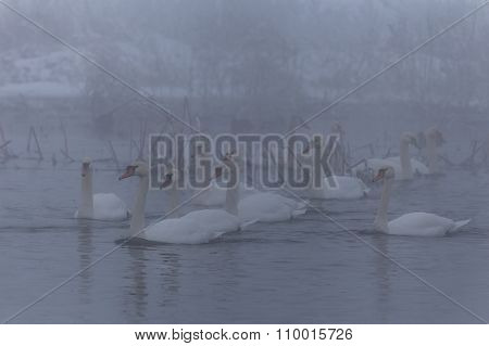 Whooper Swan (cygnus Cygnus) In Winter