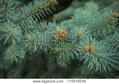 Blue Spruce Branches On A Textured Background. New Year Or Christmas Background