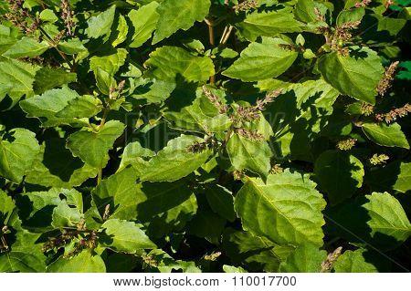 Flowering Patchouli Plant