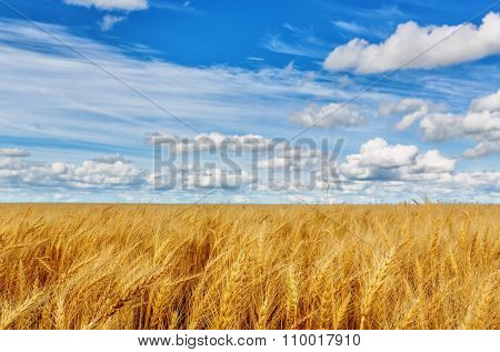 Wheat Ears On A Background Of Field And Cloudy Sky