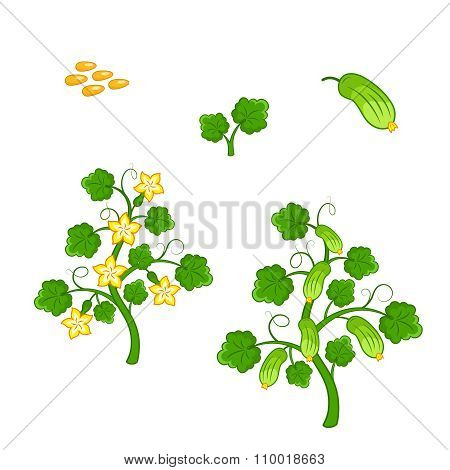 Cucumber Plant With Seeds And Flowers