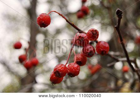 Berries Of Red Rowan