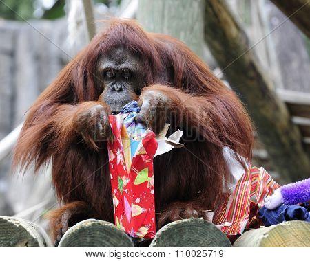 An orangutan peeking into a Christmas gift.