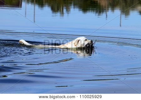 The Yellow Hunting Labrador Retrieving