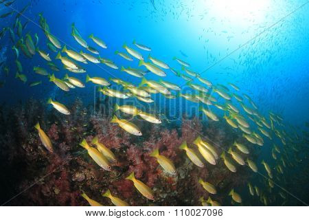 Yellow Bigeye Snapper fish underwater on coral reef