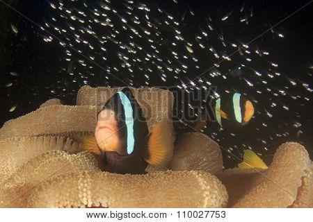 Clark's Anemonefish (Clownfish nemo fish)