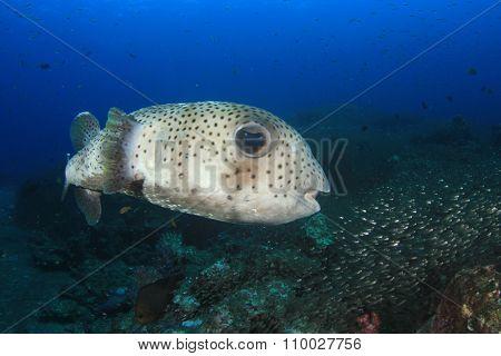 Porcupine fish porcupinefish burrfish