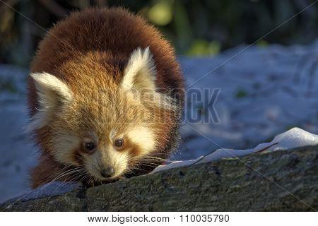 Red Panda (ailurus Fulgens) Portrait In Snow