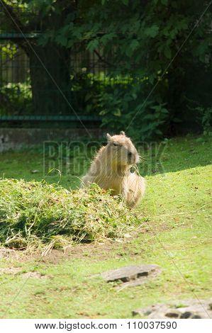 The Otter Eats Hay