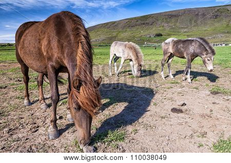 View of icelandic horses grazing in icelandic countryside