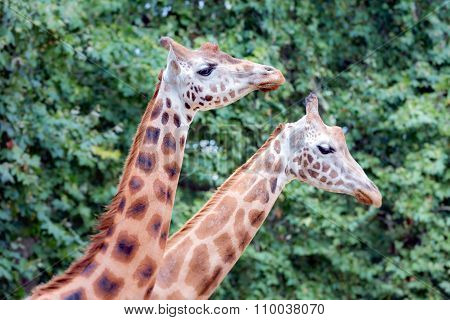 Giraffe (giraffa Camelopardalis) In Antwerp Zoo