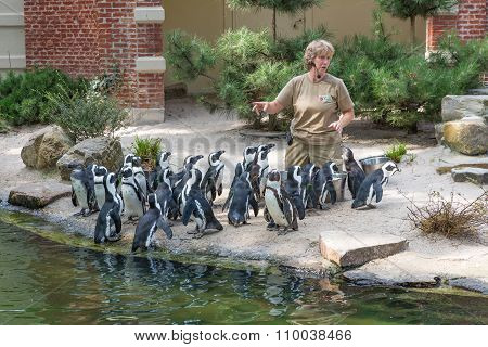 Zoo Keeper Is Feeding Penguins In The Zoo Of Antwerp