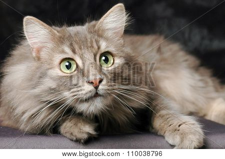 Norwegian Forest Cat, Sitting In Front Of Black Background