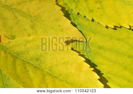 Yellow Leaves Closeup