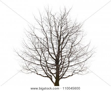 Lonely tree on white background
