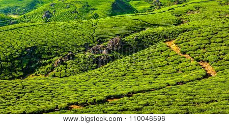 Kerala India travel background - letterbox panorama of green tea plantations in Munnar, Kerala, India close up