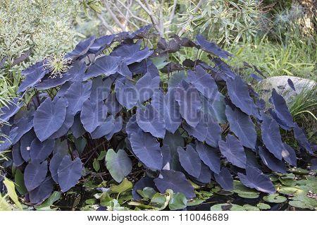 Colocasia Esculenta Plant