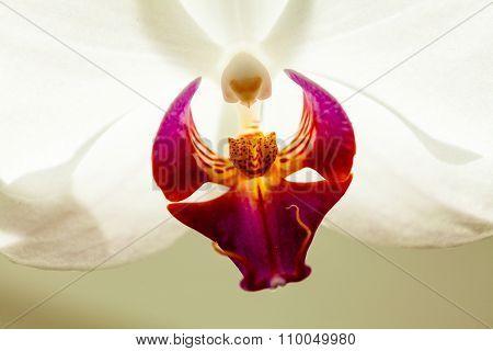 Phalaenopsis. White Orchid Flower Background.