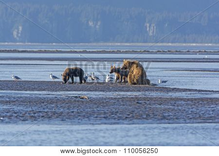 Mother Bear And Cubs On A Mudflat