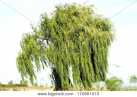 Ancient Willow Tree On Sky Background Warm Filtered