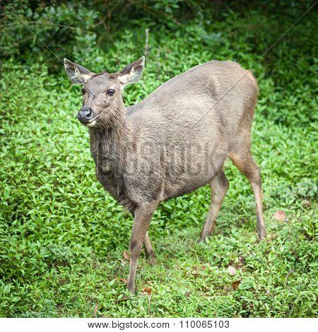 Female of the Sri Lankan sambar deer