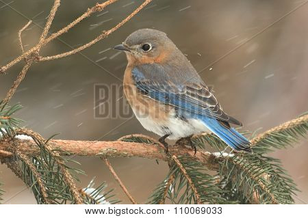 Female Eastern Bluebird In Snow