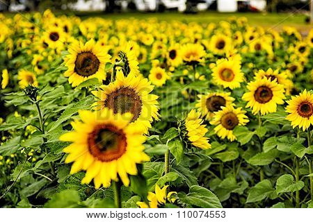 Sunflower Field On A Farm Somewhere In South Carolina Usa