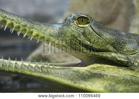 Crocodile Eye And Teeth Detail
