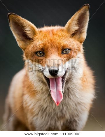 A Laughing Fox