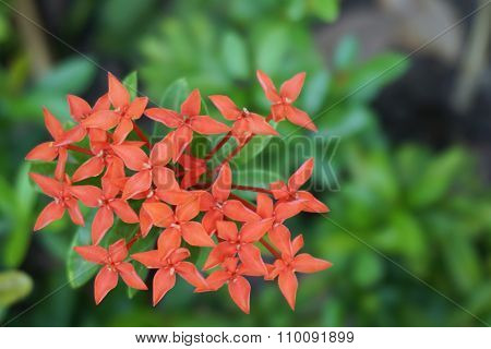 Ixora Chinensis Lamk Flower