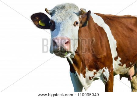 Young Cow Isolated On A White Background