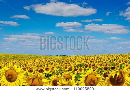 Yellow Sunflowers Growing In A Field Under A Blue Sky