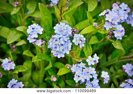 Bright Bunches Of Blue Flowers Young Forget-me