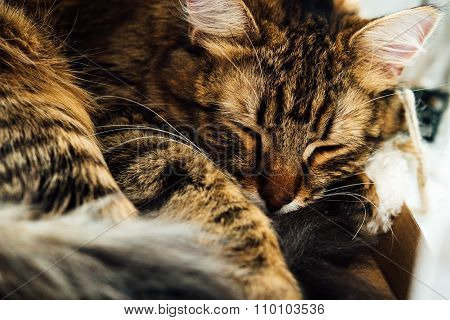 Cute Adorable Sweet Kitten Sleeping, Having Rest In His Home Place Spot.