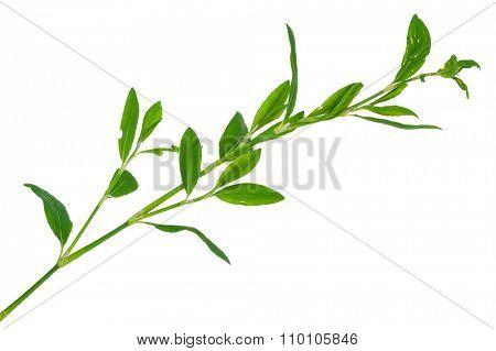 Medicinal plant. Knotweed or polygonum aviculare