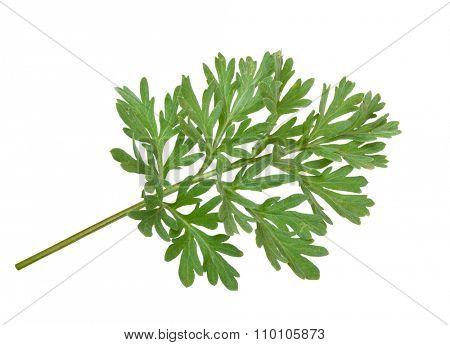 Wormwood (absinthium)