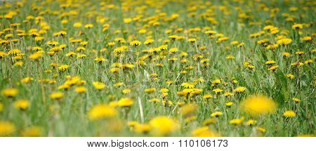 Large field of yellow dandelions