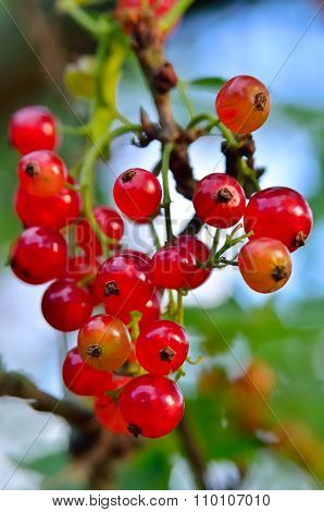 Young, Ripe Red Currant Berries Ripen On The Branch.