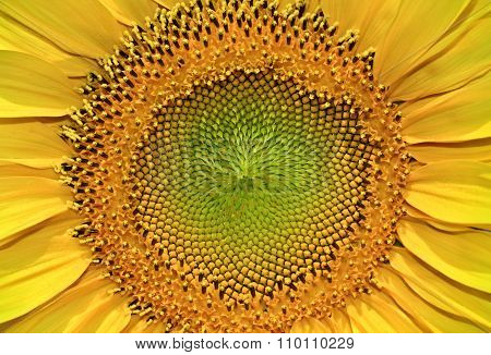 Structure Of The Seeds A Young, Blooming Sunflower, Close-up