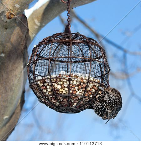 A common starling hanging from a round wire bird feeder filled with peanuts.